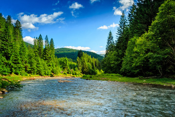 Mountain river among spruce forest
