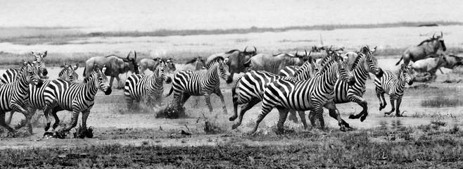 Foto op Canvas Zebra Zebra run