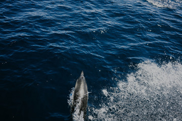 Swimming Dolphin in the water
