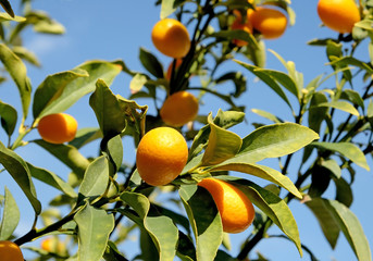 Kumquat on the branches of a tree