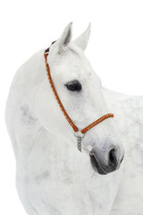 Portrait of a gray horse on a white background