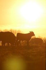 Rodeo angus en la pampa humeda en Argentina