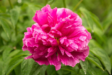 Pink peony flower after the rain in the garden