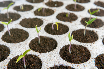 Closeup seedlings potted in peat tray. Young seedlings in spring
