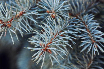 Blue spruce branches tree blurred background