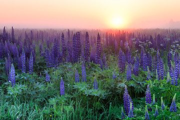 Lupinus field with blue flowers at the foggy sunrise