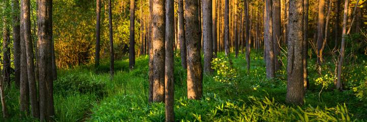 Summer Panorama of pine trees in Island Park Idaho