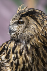 Raptor hunter, Beautiful owl with plumage of earthy colors, has