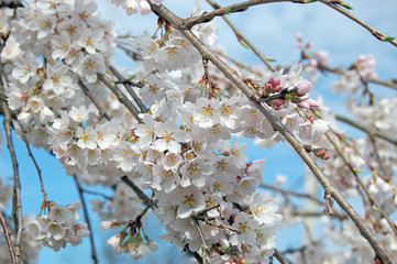 white cherry blossoms on branches with blue sky as background