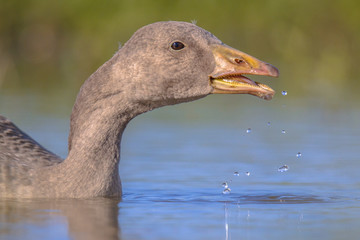 Swimming Greylag goose bird drinking water
