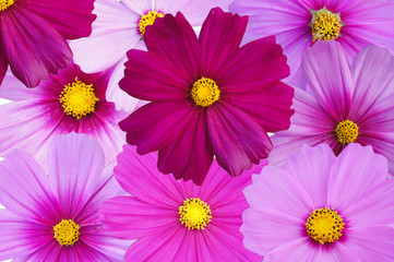 Pink Flower Isolated on white background