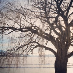 Winter tree. Leafless branches and lake background.