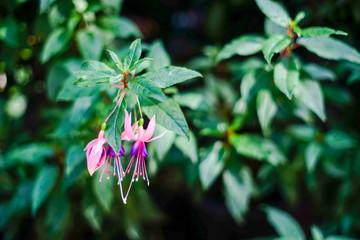 Fuchsia flower on nature background.