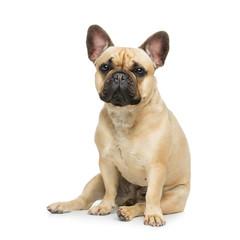 Photo sur Toile Bouledogue français Beautiful french bulldog dog