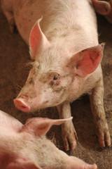 Ritratto di maiale