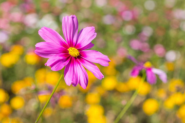 zinnia flower in park