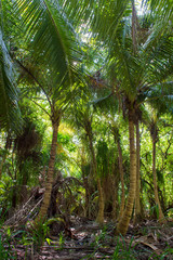 Coconut palm forest, Hanimaadhoo, Maldives