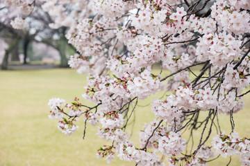 Fotomurales - Sweet soft tone of sakura or cherry blossom flower full bloom in