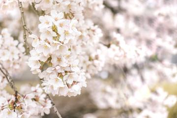 Fotomurales - Vintage sweet soft tone of sakura or cherry blossom flower full