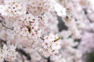 Fotomurales - Vintage sweet soft tone of sakura or cherry blossom flower full bloom in spring season.