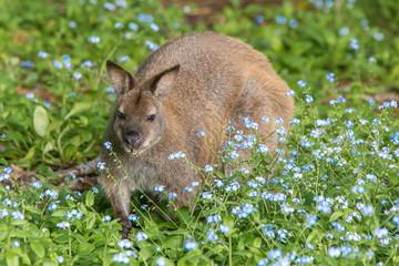 Bennett's wallaby on Bruny Island Tasmania