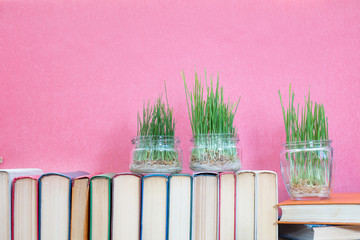 Seedlings of green wheat sprouts germinated wheat in glass jar on books over pink background. Agriculture education concept.