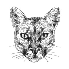 puma sketch illustration