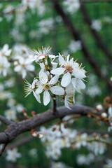 symbol of spring- cherry blossom