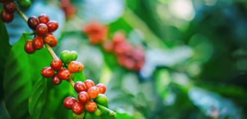 fresh coffee beans on tree