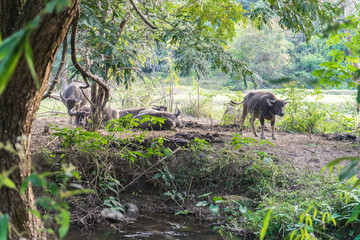 Thai Buffalo walk over the field