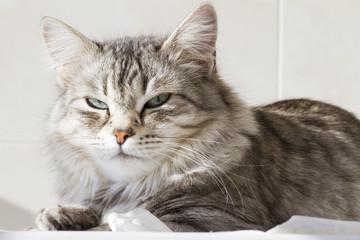 beautiful silver kitten outdoor, siberian cat female