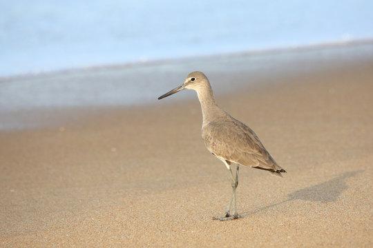 Shorebird standing at waters edge