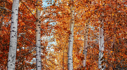 aspen trees in a grove during fall