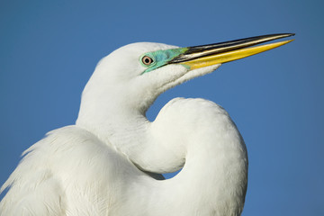 Egret portrait - Florida.
