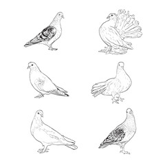 illustration with pigeon silhouettes isolated on white background
