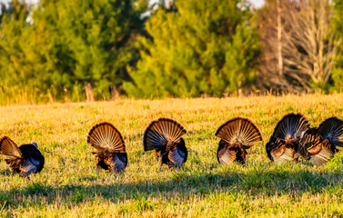 Six wild turkeys with their tail feathers spread and backs facing.