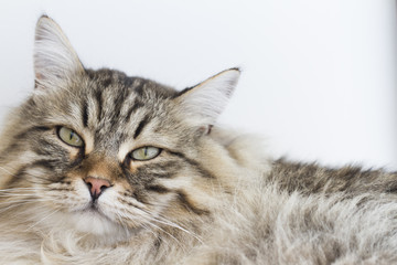 brown tabby cat of siberian breed lying on the sofa