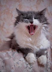 Domestic cat yawns