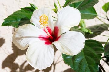 Hibiscus flower bloom in garden