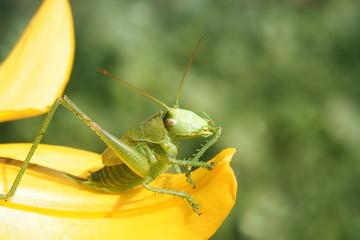 green grasshopper collects pollen from a yellow flower
