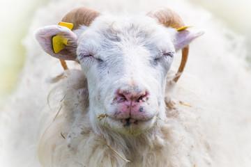 Schaf blinzelt ruhig und zufrieden