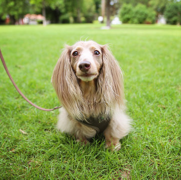 a miniature long haired dachshund with isabella coloring sitting