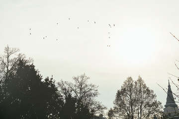 Pigeons flying over the trees. Slovakia