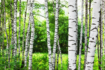 summer in sunny birch forest Wall mural