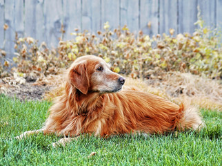 a golden retriever on a front yard lawn