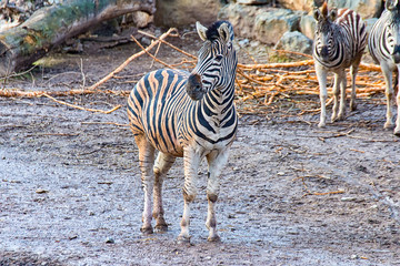 The Zebra child all alone and in the background the parents