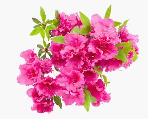 Geïsoleerde roze lenteazalea