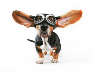 a basset hound with his ears flying away wearing goggles isolate