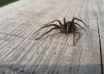 Brown spider on the wood
