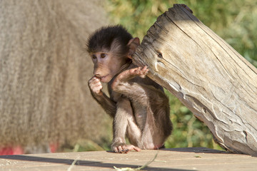 Baby Baboon Lifting Weight